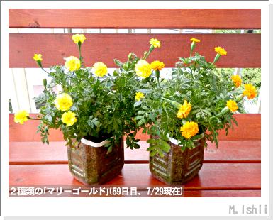 収穫したペットボトル野菜2013_07月04