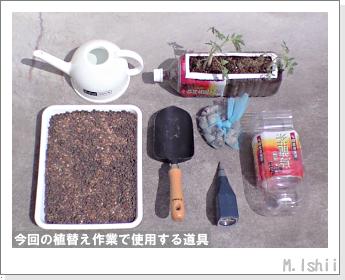 ペット栽培(シュガーランプ)14
