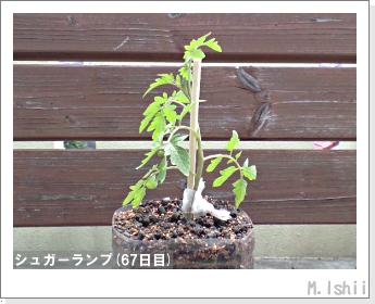 ペット栽培(シュガーランプ)15