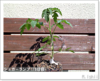 ペット栽培(シュガーランプ)16