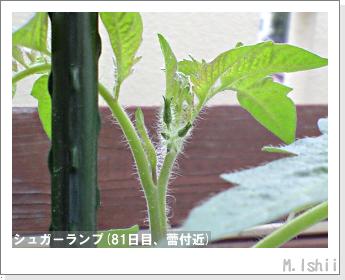 ペット栽培(シュガーランプ)18