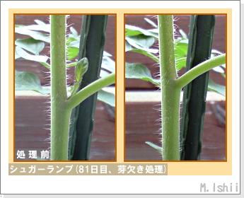 ペット栽培(シュガーランプ)19