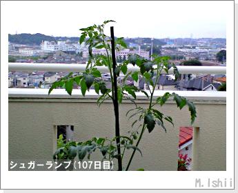 ペット栽培(シュガーランプ)26