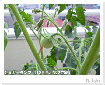 ペット栽培(シュガーランプ)30