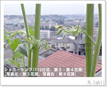 ペット栽培(シュガーランプ)33