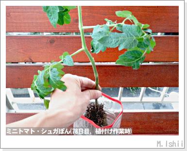 ペット栽培III(ミニトマト)16