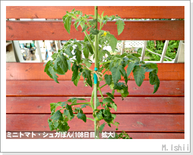 ペット栽培III(ミニトマト)26