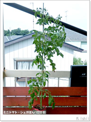 ペット栽培III(ミニトマト)32