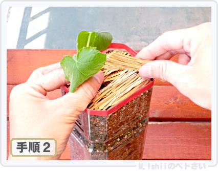 ペトさい(ミニきゅうり)14