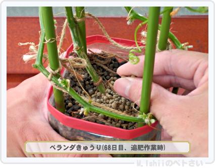 ペトさい(ベランダきゅうり)57