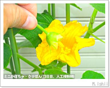 ペット栽培III(ミニかぼちゃ)29