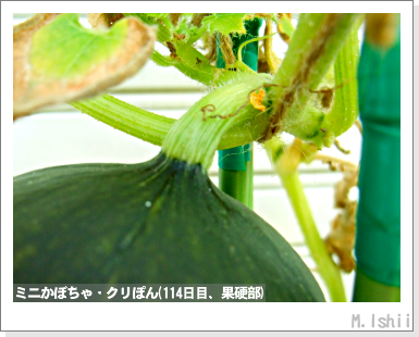 ペット栽培III(ミニかぼちゃ)44