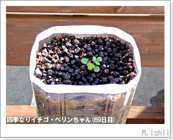 ペット栽培II(四季なりイチゴ)16