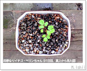ペット栽培II(四季なりイチゴ)26