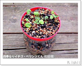 ペット栽培II(四季なりイチゴ)27