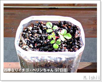 ペット栽培II(四季なりイチゴ)28