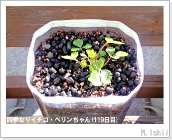 ペット栽培II(四季なりイチゴ)34