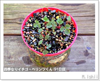 ペット栽培II(四季なりイチゴ)35