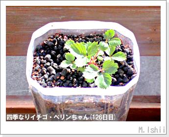 ペット栽培II(四季なりイチゴ)37