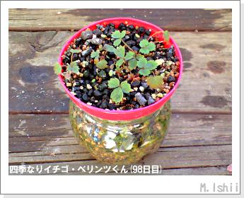 ペット栽培II(四季なりイチゴ)38