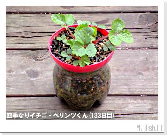 ペット栽培II(四季なりイチゴ)48