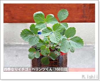 ペット栽培II(四季なりイチゴ)59