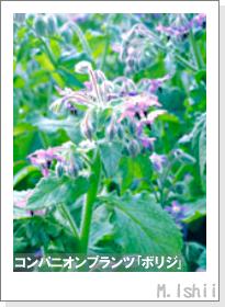 ペット栽培II(四季なりイチゴ)61