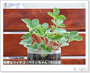 ペット栽培II(四季なりイチゴ)63
