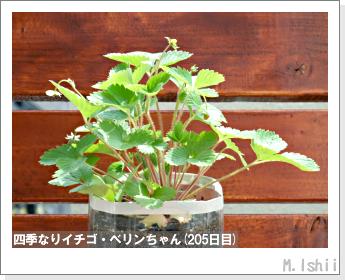 ペット栽培II(四季なりイチゴ)68