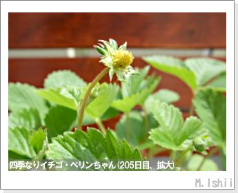 ペット栽培II(四季なりイチゴ)69
