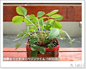 ペット栽培II(四季なりイチゴ)70