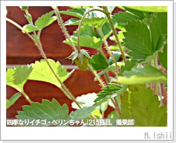 ペット栽培II(四季なりイチゴ)73