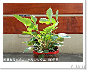 ペット栽培II(四季なりイチゴ)74