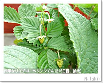 ペット栽培II(四季なりイチゴ)93