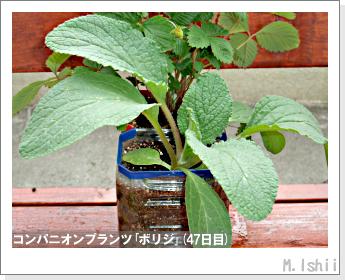 ペット栽培II(四季なりイチゴ)94