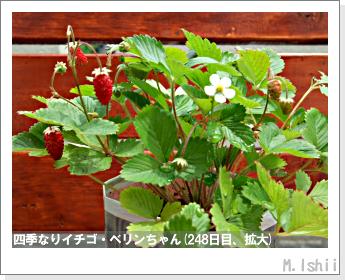 ペット栽培II(四季なりイチゴ)97