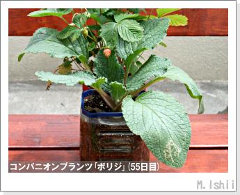 ペット栽培II(四季なりイチゴ)101