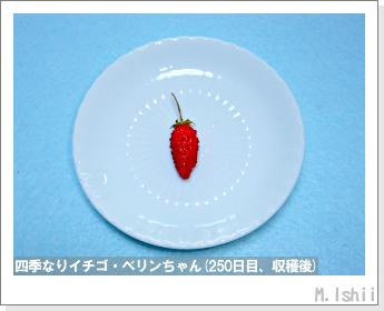 ペット栽培II(四季なりイチゴ)102
