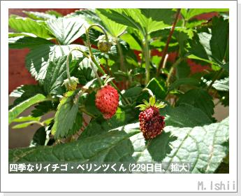ペット栽培II(四季なりイチゴ)106