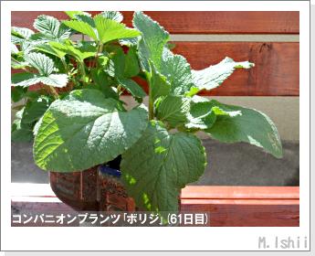 ペット栽培II(四季なりイチゴ)108