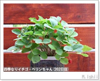 ペット栽培II(四季なりイチゴ)109