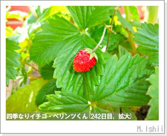 ペット栽培II(四季なりイチゴ)116