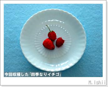 ペット栽培II(四季なりイチゴ)117