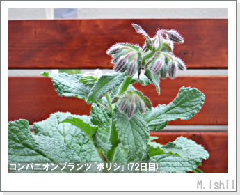 ペット栽培II(四季なりイチゴ)118