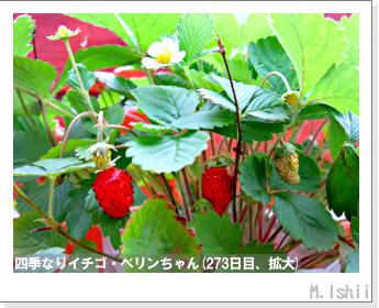 ペット栽培II(四季なりイチゴ)121