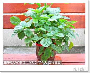 ペット栽培II(四季なりイチゴ)122