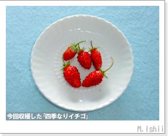 ペット栽培II(四季なりイチゴ)124