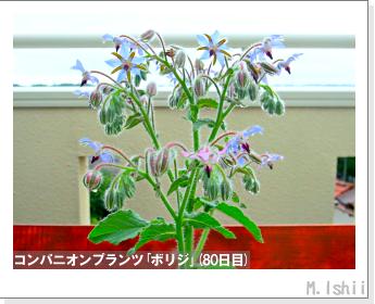 ペット栽培II(四季なりイチゴ)125