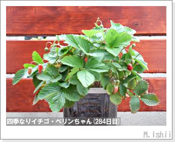 ペット栽培II(四季なりイチゴ)128