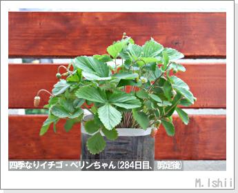 ペット栽培II(四季なりイチゴ)129